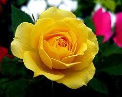 Ý nghĩa của hoa hồng vàng – Ý nghĩa các hoa hồng